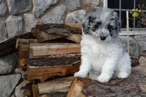 aussiepoo puppies for sale 17 best images about aussiepoo aussiedoodle on australian shepherd mix