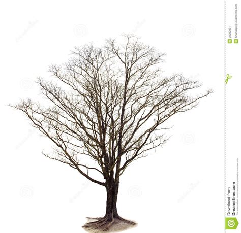 white branch tree out line of tree branch isolated white background use