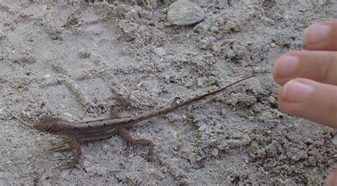 where to find lizards in your backyard 28 images how