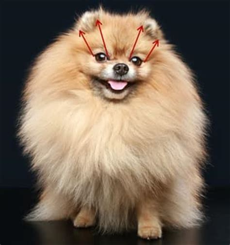 pomeranian adults size pomeranian ears problems care infections cleaning