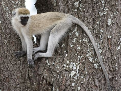 nicko the tale of a vervet monkey on an farm books vervet monkey monkeys story of africa