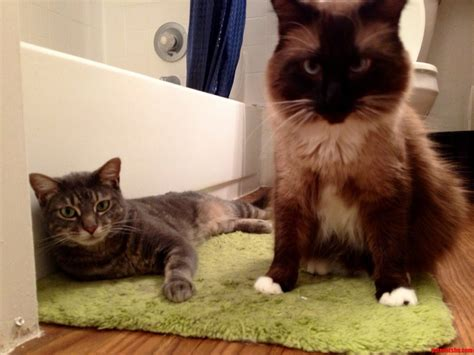wrong bathroom you done come to the wrong bathroom cute cats hq pictures of cute cats and
