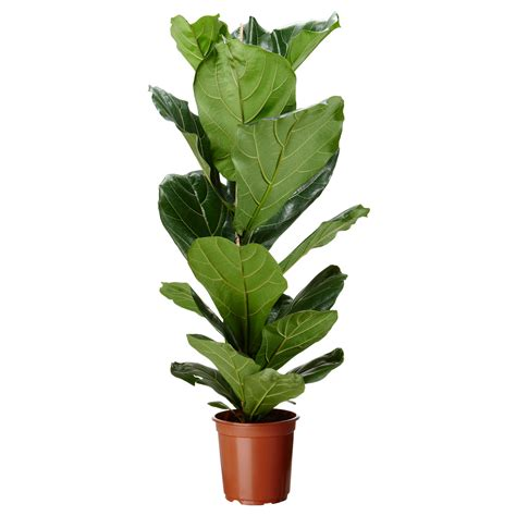 ikea leaves ficus lyrata potted plant ikea 13 fiddle leaf fig