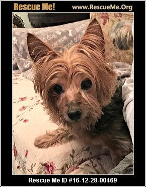 yorkie rescue near me west virginia yorkie rescue adoptions rescueme org