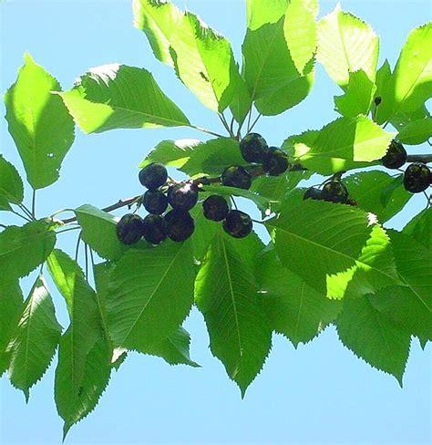 advantages of growing black republican cherry orchididia