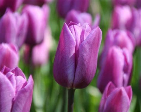 viola significato fiore significato fiori tulipani viola regalare piante
