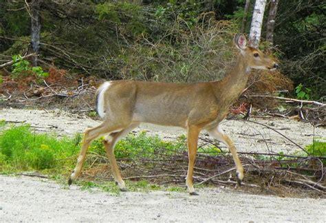 Garden Deer Garden Deer Profile Downeast Thunder Farm