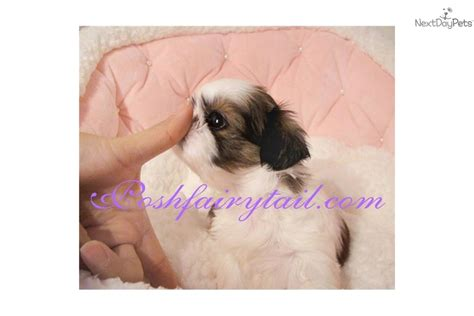 teacup shih tzu puppies for sale near me puppies for sale teacup pomeranian club design bild