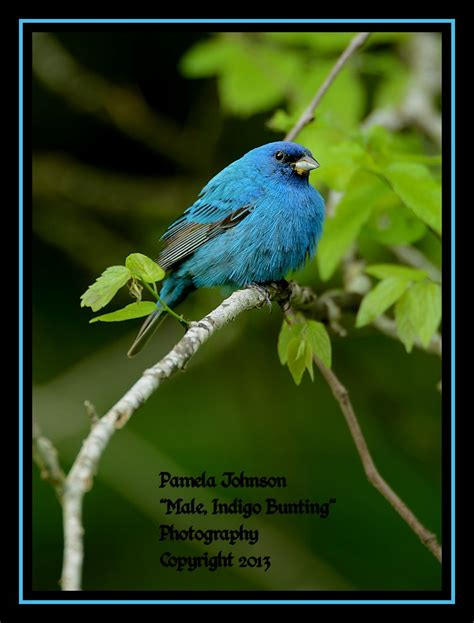 the indigo bunting new in the shop 2013 illustrated calendar male indigo bunting by natureshooter on deviantart