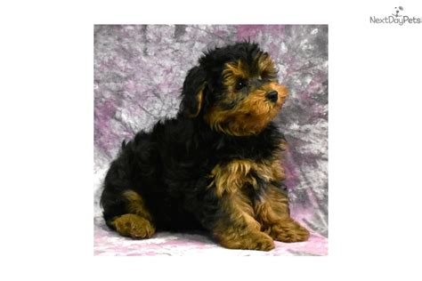 yorkie poo puppies for sale in nh yorkiepoo yorkiepoo yorkie poo puppy for sale near new hshire c50d4254 58d1