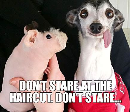 Shaved Guinea Pig Meme - so there was this guinea pig who got shaved memes