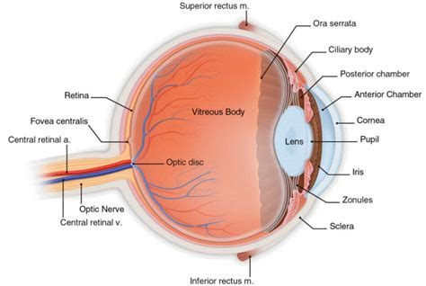 sectional anatomy of the eye anatomy