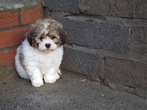 shih tzu x bichon puppies beautiful shih tzu x bichon frise puppies llanelli
