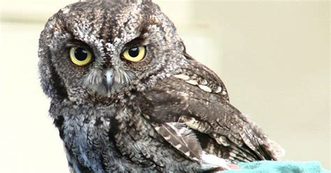 best 28 what sound does a screech owl make the sounds