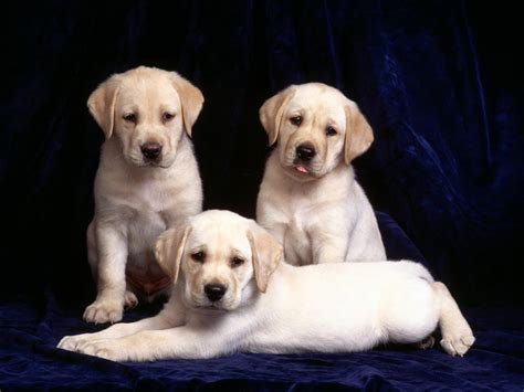 pictures of labrador puppies cool pets 4u labrador puppies review and pictures