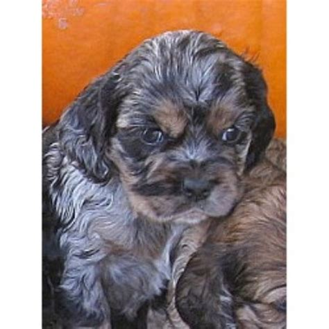 cocker spaniel puppies michigan american cocker spaniel breeders in the usa and canada freedoglistings page 1
