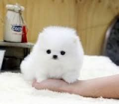 pomeranian puppies for sale calgary pomeranian puppies for sale call text 972 449 4650