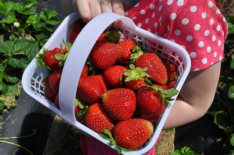 C R E A M Viii Strawberry Pound Cake Ejm 1 lilley farms localharvest
