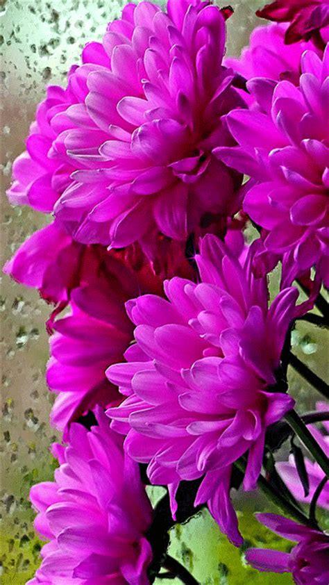 Natur E Isi 16 condi陋ii de via陋艫 chrysanthemum