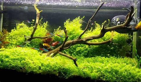 membuat background aquascape 25 jenis tanaman aquascape bagus untuk akuarium