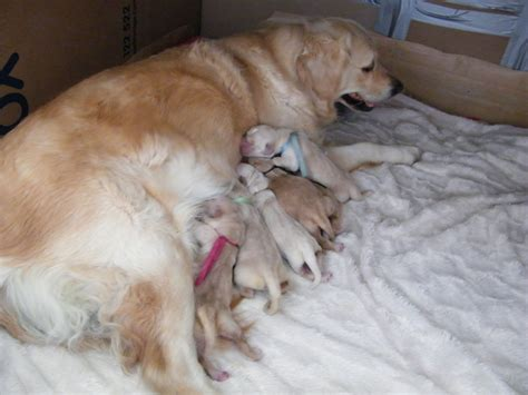 golden retrievers for sale australia golden retriever puppies for sale 163 750 posted 1 year ago for sale