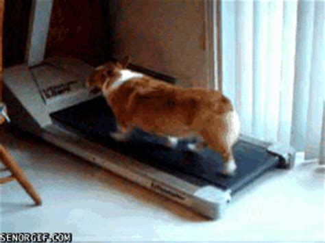 corgi working out for summer cheezburger gif find on giphy