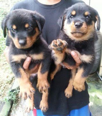 3 month rottweiler size rottweiler puppies sold 4 years 3 months rottweiler big bone big size from klang