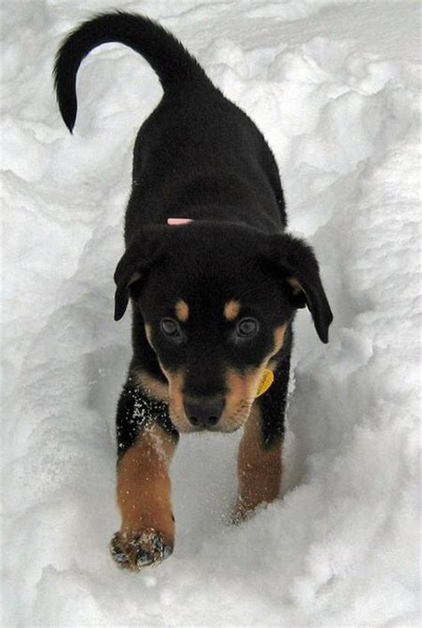 rottweiler shiba inu mix buffy the shiba inu mix puppies daily puppy breeds picture