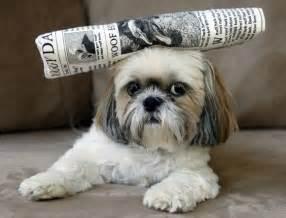 shitzu dogs shih tzu shitzu 西施犬 chrysanthemum puppy sweet and