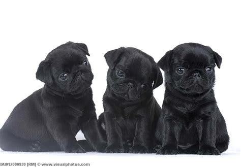three pugs the three pugs pets