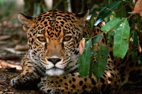 Jaguar Park Corcovado National Park Jaguar