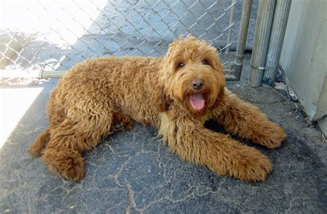 best puppy food for labradoodles small breeds that don t shed best large breed puppy food guide