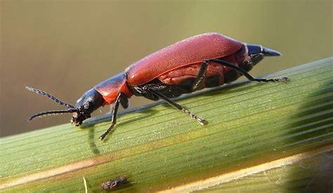melyridae wikipedia
