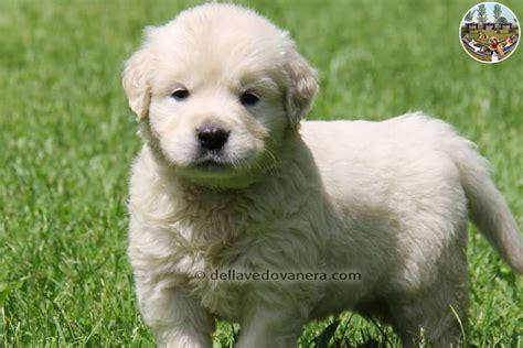 alimentazione golden retriever adulto vendita cuccioli golden retriever blackhairstylecuts