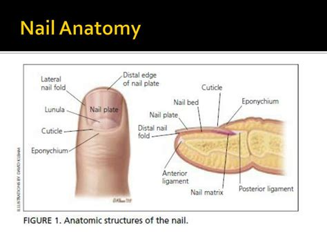 nail bed anatomy download the dark comedy