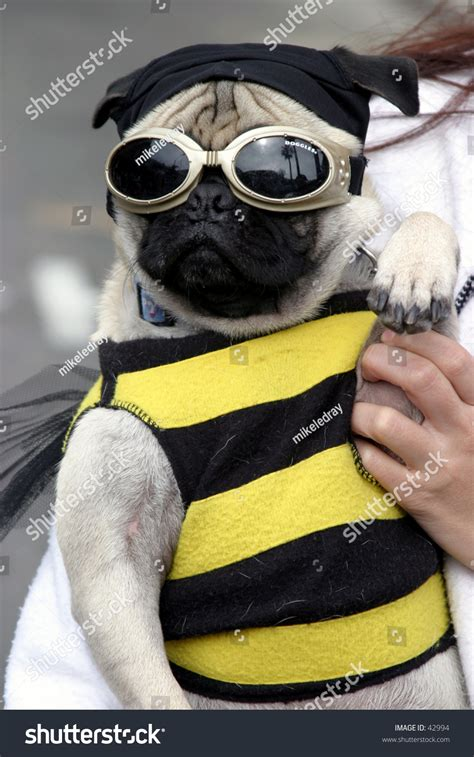 pug bee costume a small a pug wears a bee costume with goggles during a parade stock photo