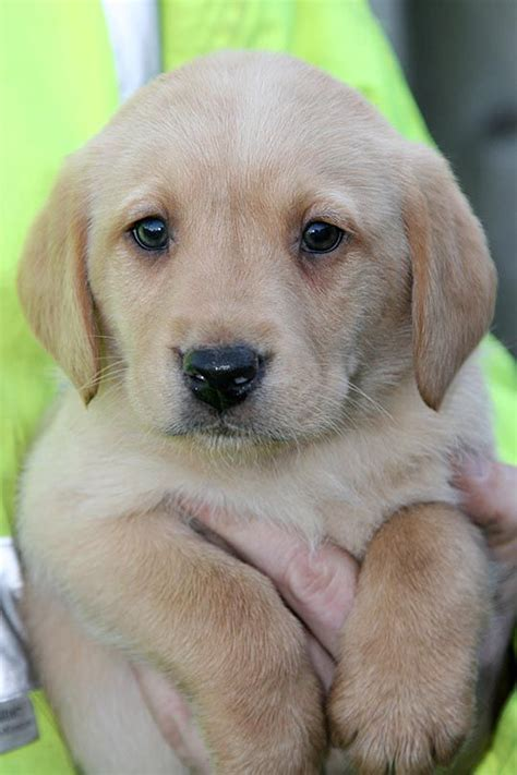 golden labrador puppies for sale beautiful playful golden labrador puppies for sale swansea swansea pets4homes