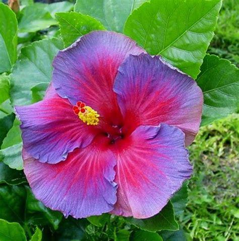 blue and purple hibiscus flower hibiscus flower love quotes quotesgram