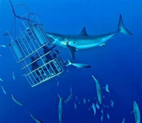 cage dive with sharks shark cage diving south africa 8 thrilling travel
