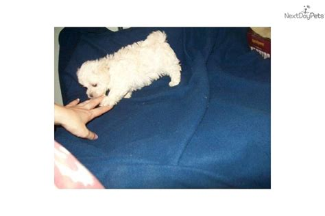 maltipoo puppies for sale in va maltipoo puppies for sale virginia image search results