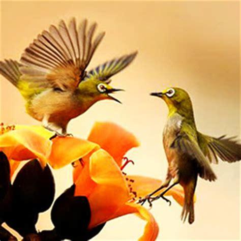 gambar burung pleci 2 burungmaster