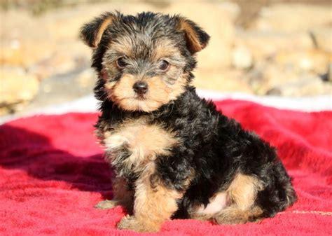 morkie puppies for sale morkie puppies for sale health guaranteed keystone puppies