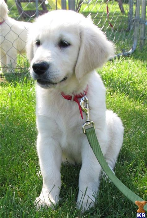 puppies for sale wi golden retriever dogs for sale in wisconsin www