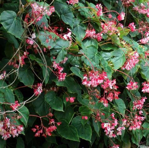 Home Design Types Begonia Obliqua