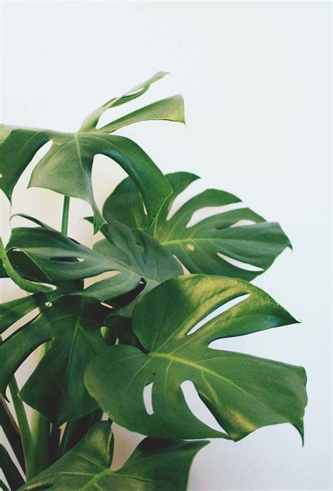 pretty split leaf philodendron plants pinterest