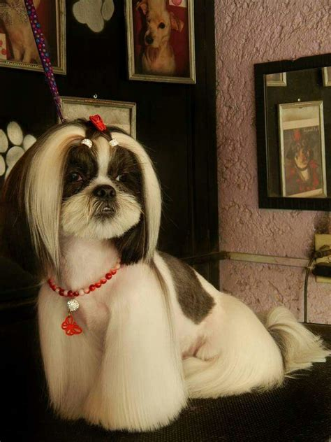 good grooming proper hairstyles 54 best images about shih tzu grooming hairstyles on