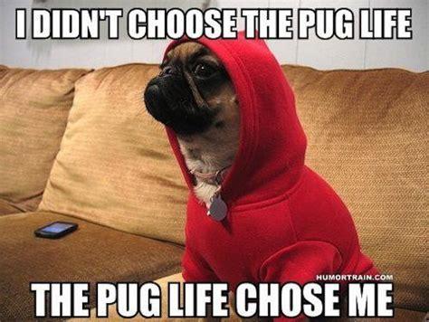 Pug Meme - 20 best i didn t choose the thug life memes smosh