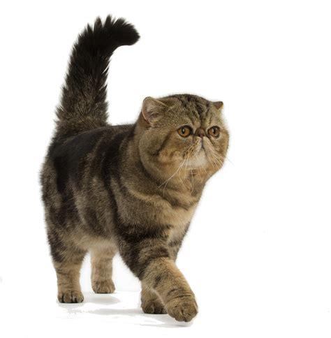 Cat Cat cat breeds shorthair royal canin