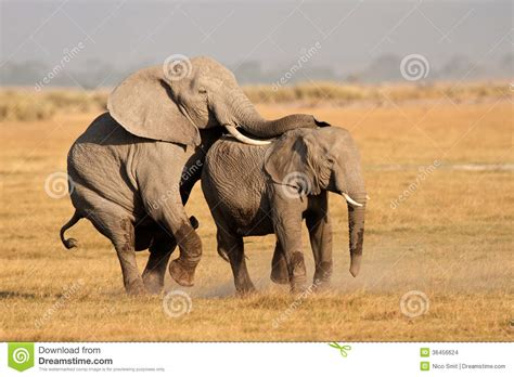 mating video of african people mating african elephants stock photo image of trunk