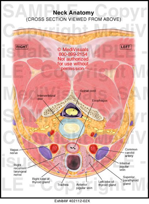 neck anatomy cross section from above illustration